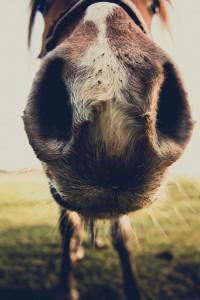 pony nose